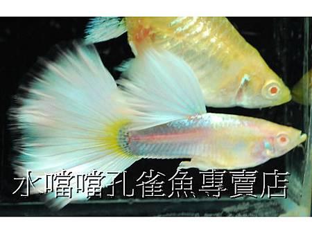 水噹噹孔雀魚002.jpg