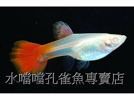 水噹噹孔雀魚004.jpg