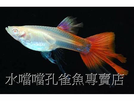 水噹噹孔雀魚006.jpg
