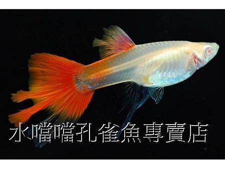 水噹噹孔雀魚005.jpg
