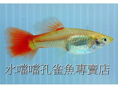 ☆☆☆黃化全紅(1對)☆☆☆高雄水噹噹孔雀魚專賣店