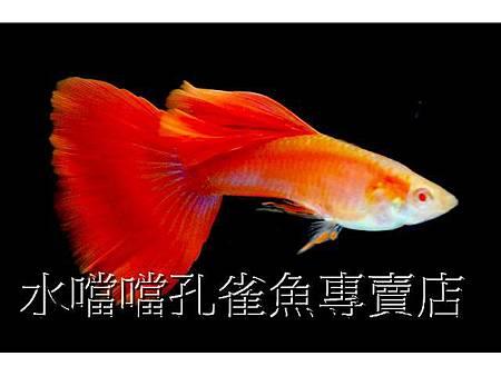 水噹噹孔雀魚002