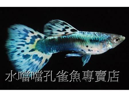 水噹噹孔雀魚003