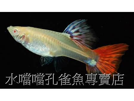 水噹噹孔雀魚006