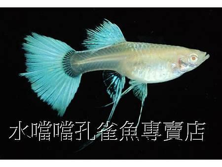 水噹噹孔雀魚008