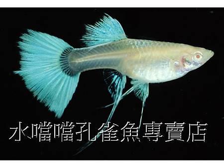 水噹噹孔雀魚009