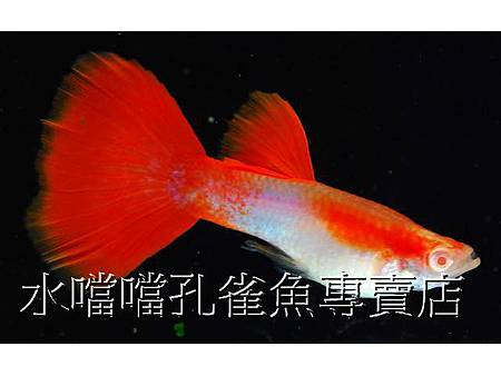 水噹噹孔雀魚001