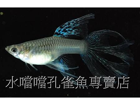 水噹噹孔雀魚007