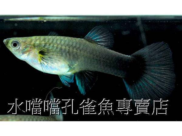 水噹噹孔雀魚004