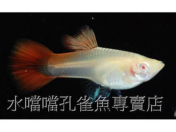 水噹噹孔雀魚005