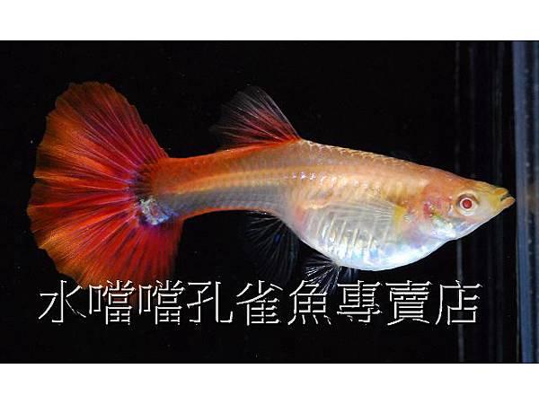 水噹噹孔雀魚專賣店005