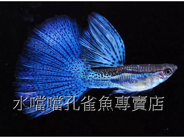 水噹噹孔雀魚專賣店001