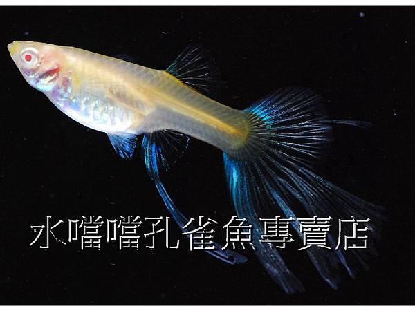 水噹噹孔雀魚專賣店007