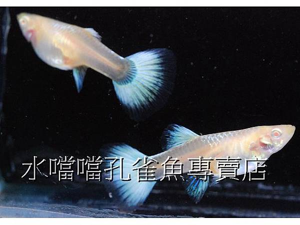 水噹噹孔雀魚專賣店006