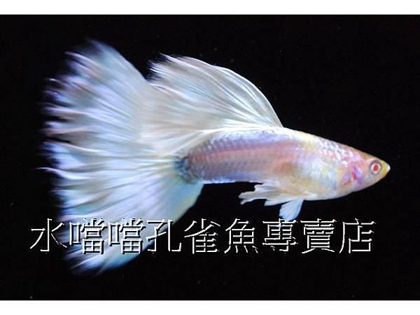 水噹噹孔雀魚專賣店004