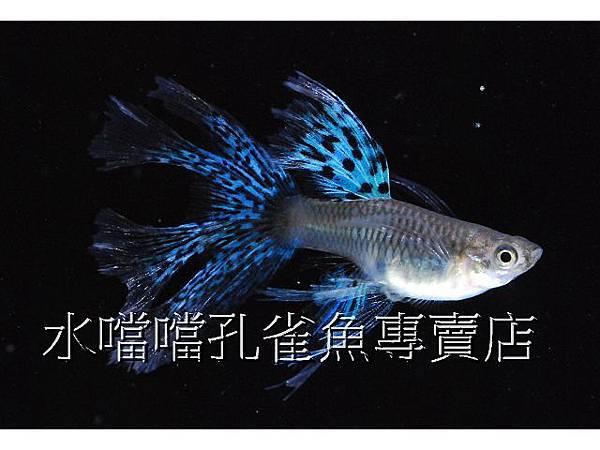 水噹噹孔雀魚專賣店008