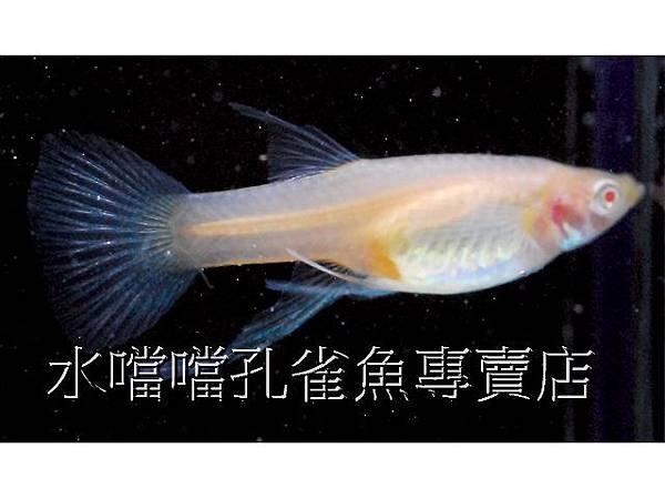 水噹噹孔雀魚專賣店009