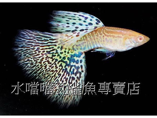 水噹噹孔雀魚專賣店002