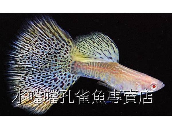 水噹噹孔雀魚專賣店003