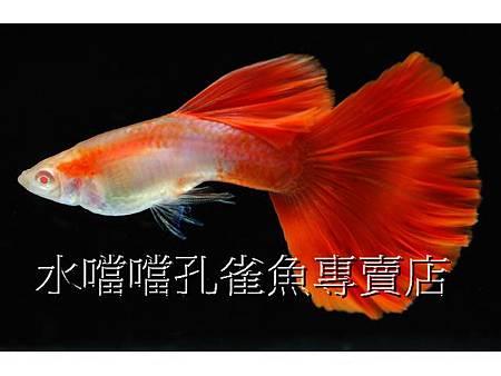 孔雀魚專賣店☆特選日本藍紅尾禮服尾白子☆水噹噹鳳山店