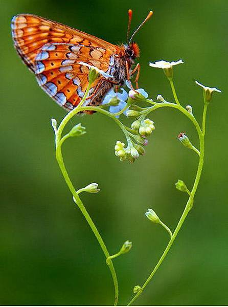 蝴蝶的愛心草