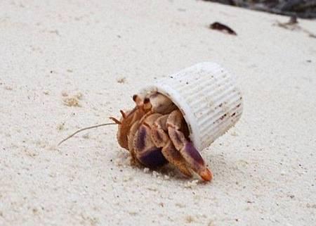 海洋垃圾多 寄居蟹找嘸貝殼改住牙膏蓋.jpg