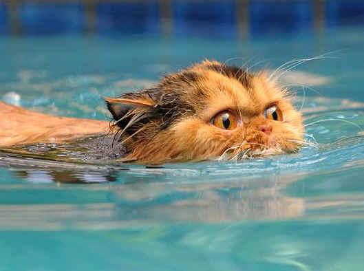 會游泳的貓3.jpg