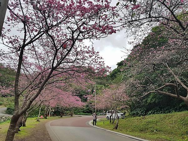 八重岳櫻花祭.jpg