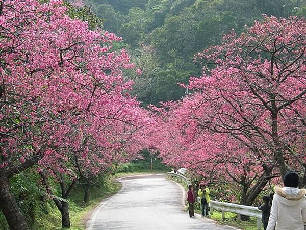 本部八重岳櫻花