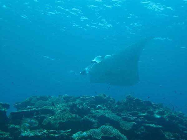 石垣島篇》石垣「名物」蝠鱝(Manta Ray)是也! ~沖繩離島旅遊