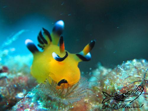 ウデフリツノザヤウミウシ:Thecacera pacifica:太平洋多角海蛞蝓.jpg