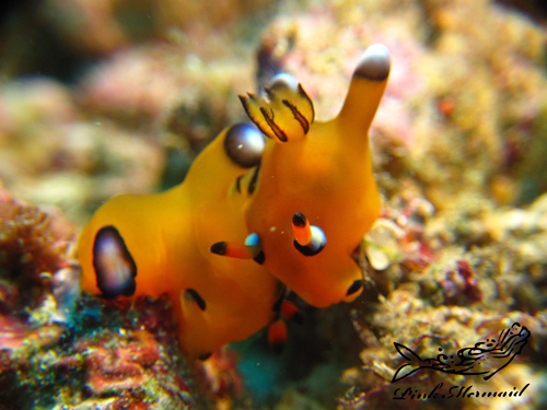 ウデフリツノザヤウミウシ:Thecacera pacifica:太平洋多角海蛞蝓 II.jpg