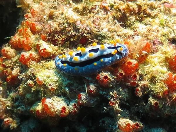 Phyllidia Coelestis:ソライロイボウミウシ:天空葉海蛞蝓.jpg
