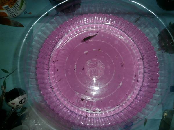 09-0314孔雀魚寶寶