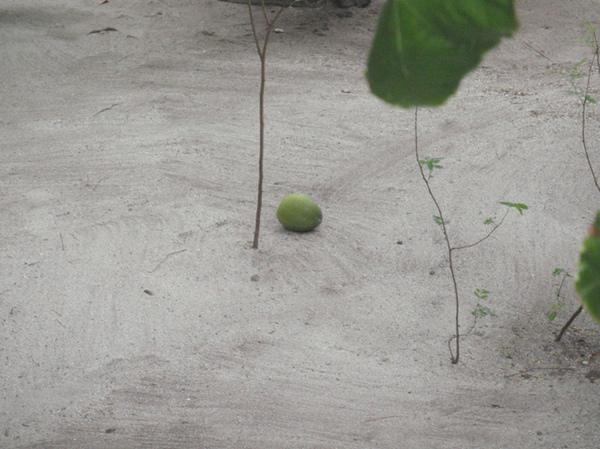 10/26 掉落的椰子
