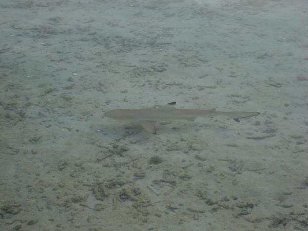 10/29 一隻在淺灘玩耍的小鯊魚