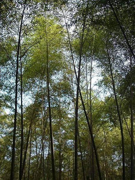 竹山的竹子果然很茂密