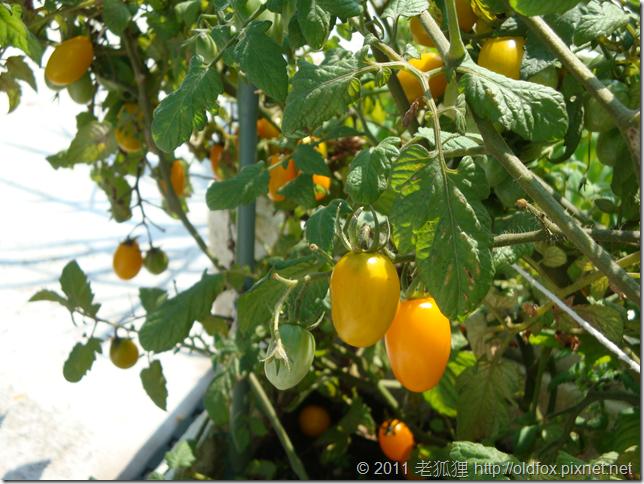 黃金小蕃茄的成熟果實