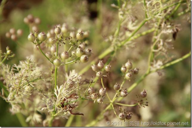 成熟的芫荽種子