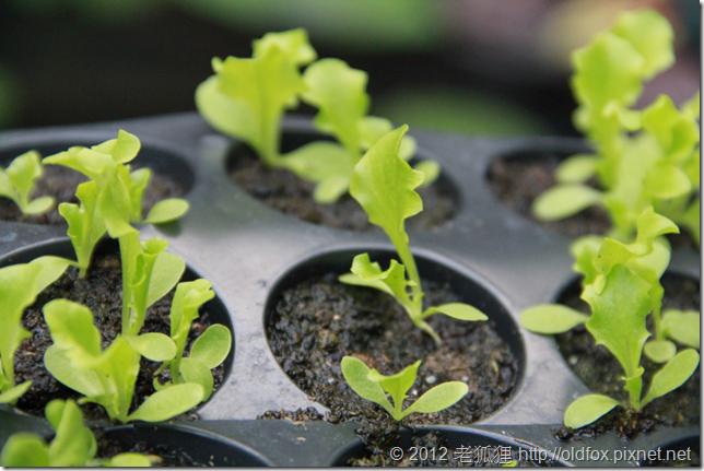 待定植的萵苣