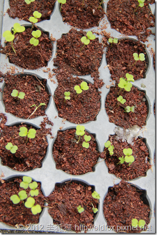 芝麻菜播種一週