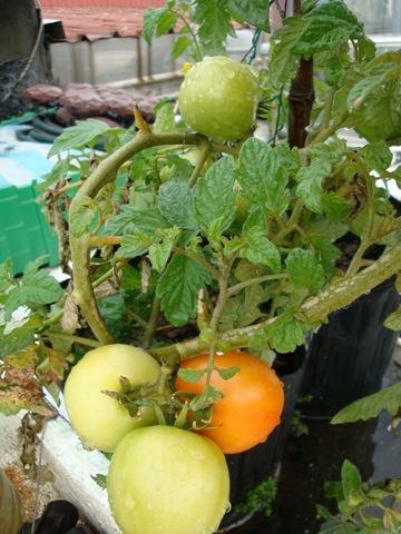 25498864:蕃茄的收成