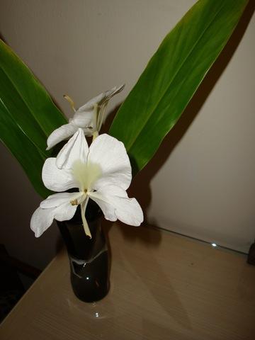 25500315:今年第一朵野薑花