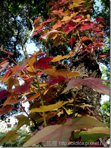 楓香的新生紅葉