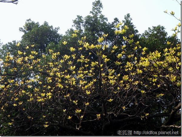 欖仁樹的新葉
