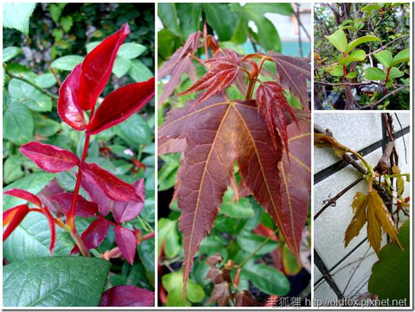 新葉(從左到右:玫瑰、青楓、紫薇、爬牆虎)