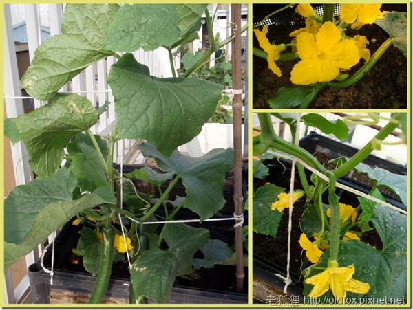 小黃瓜開花結果(右上雄花,右下雌花)
