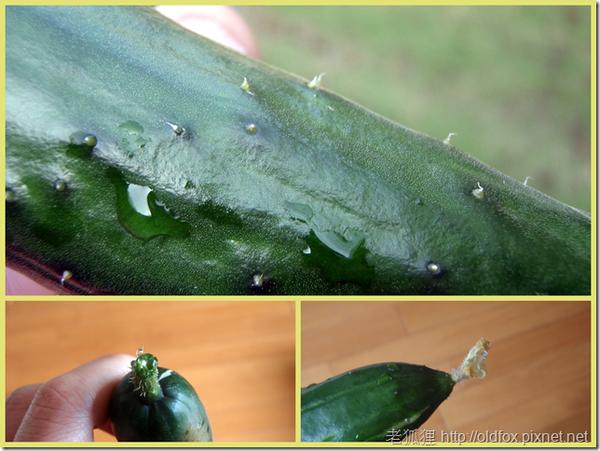 剛採收的小黃瓜
