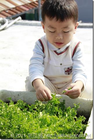 小罡採菊苣