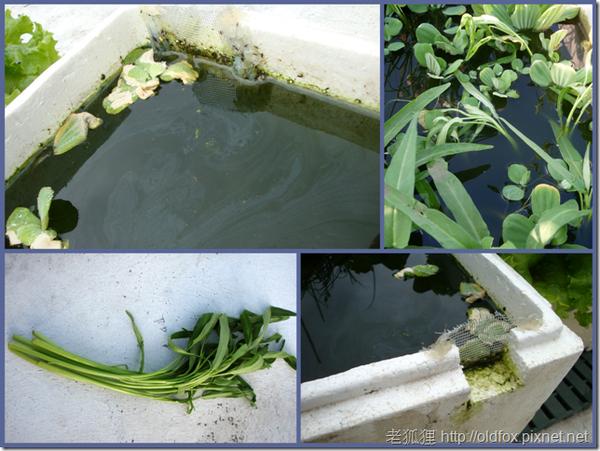 水耕空心菜的準備